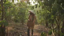 Young woman in Vietnamese straw hat and mask go with basket in coffee plantation to pick coffee beans. Coffee farm, coffee crop. Laos, Asia.