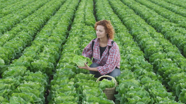 young woman kneeling and working in lettuce field, looking up, smiling, holding lettuce to camera - しゃがむ点の映像素材/bロール