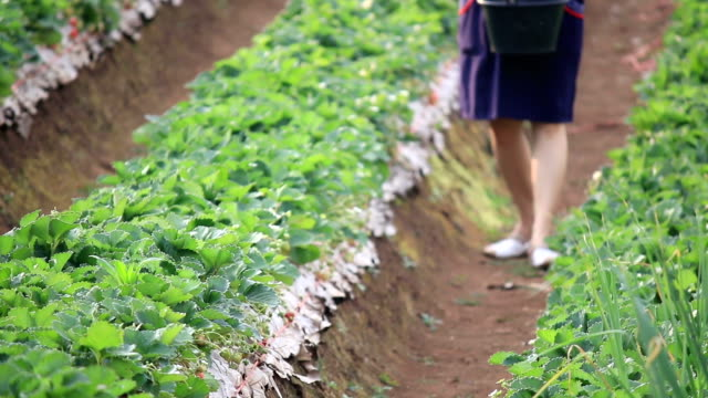 young woman local agriculture enjoy for harvesting strawberry