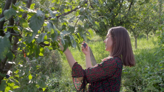 young woman picking plums in the orchard - plum stock videos & royalty-free footage