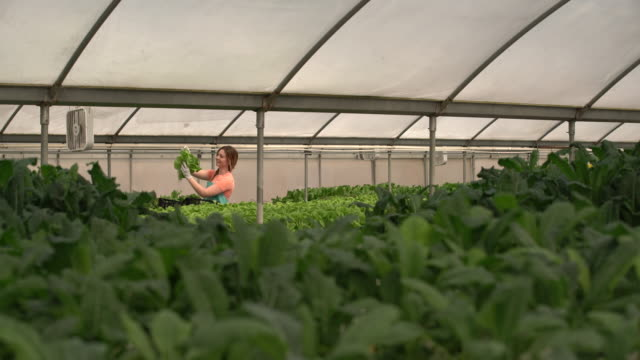 WS Young woman picking vegetables on a hydroponic farm