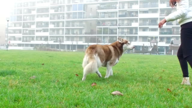 young woman playing with her dog - slow motion - malamute stock videos and b-roll footage