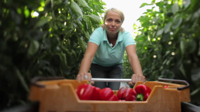 POV MS Young woman pushing trolley full of peppers through greenhouse / Perth, Australia