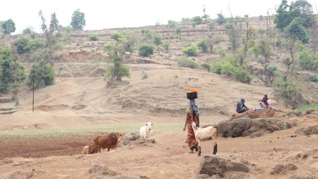 a young woman seen from behind carrying a laundry basket on her head and cattle within rural landscape in nashik a region located in the northwestern... - portare video stock e b–roll