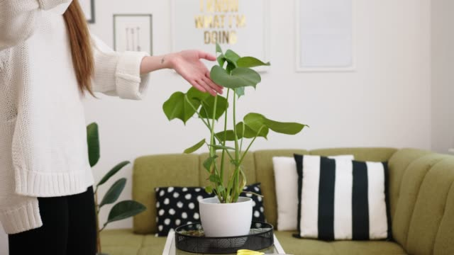 young woman spraying a monstera with water, plants need a lot of moisture, especially in winter - man made object stock videos & royalty-free footage
