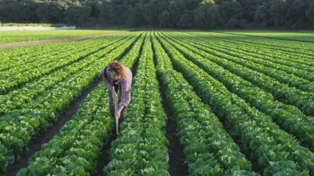 young woman standing and working in lettuce field, looking up and smiling to camera