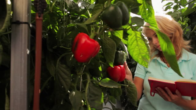 ms pan young woman taking notes on red peppers growing in greenhouse / perth, australia - red bell pepper stock videos & royalty-free footage