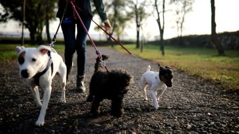 ung kvinna som går med tre hundar i offentlig park - knähund bildbanksvideor och videomaterial från bakom kulisserna