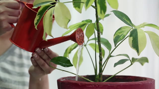 vidéos et rushes de young woman watering a plant, delhi, india - plante