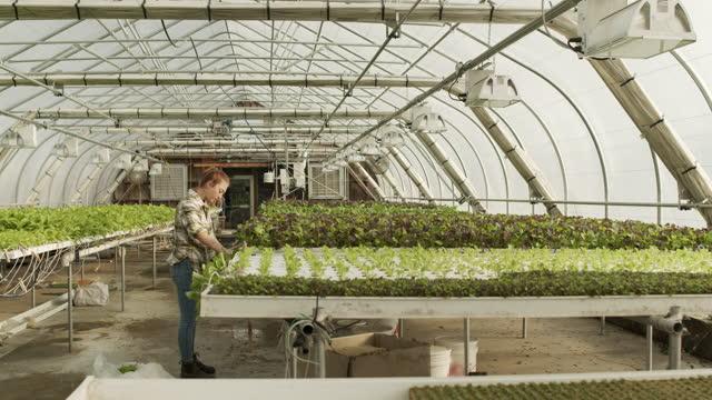 vídeos y material grabado en eventos de stock de young woman working in organic greenhouse - hidropónica