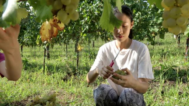 young women enjoying  harvesting grapes - cibo biologico video stock e b–roll
