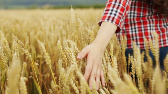 young women in plaid shirt walking on the golden wheat field on a sunny summer day. - plaid shirt stock videos & royalty-free footage