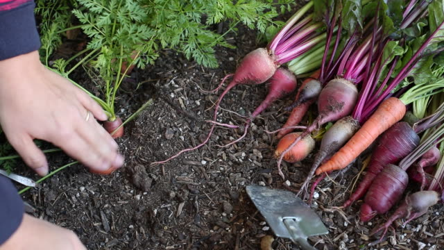 vidéos et rushes de a young women working in her home vegetable garden. - carotte