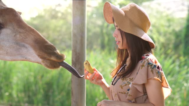 vídeos de stock e filmes b-roll de youngwoman feeding giraffe - jardim zoológico