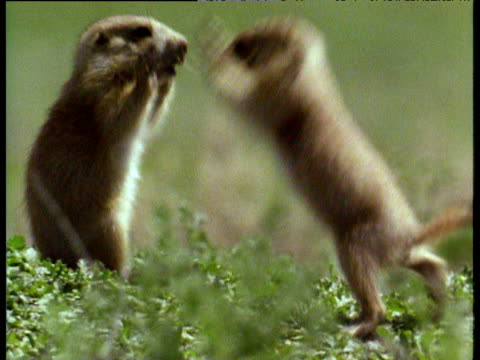 youthful play-fighting of baby prairie dogs in badlands of south dakota - confrontation stock videos & royalty-free footage