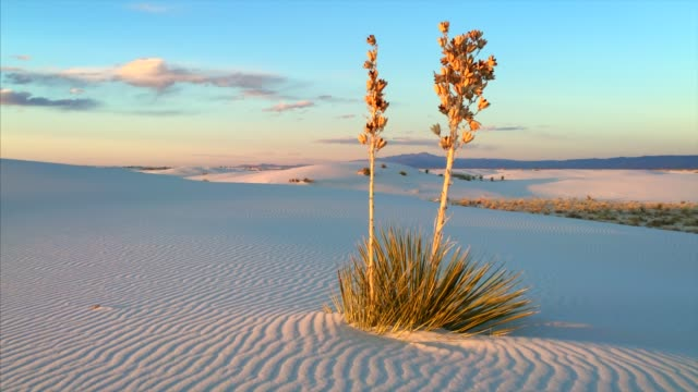 vidéos et rushes de yucca and rippled sand at white sands national monument in new mexico - aride