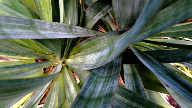 yucca cactus plant close-up zoom. - yucca stock videos & royalty-free footage
