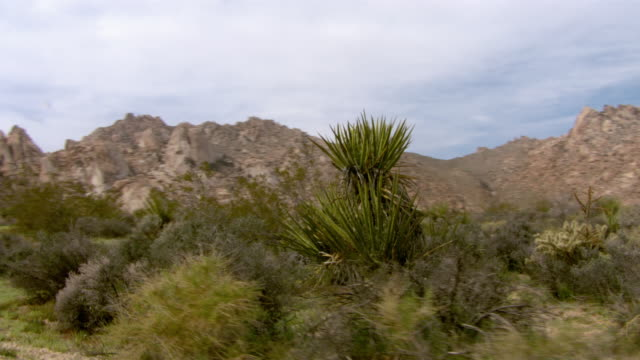 Yucca grows in the Mojave Desert.