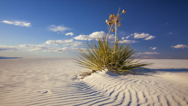Yucca Plant on Sand Dune at White Sands National Monument - Timelapse