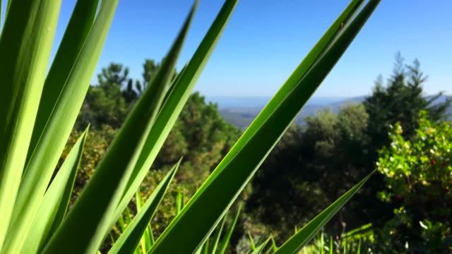vidéos et rushes de usine de yucca & vue mer panoramique - cactus