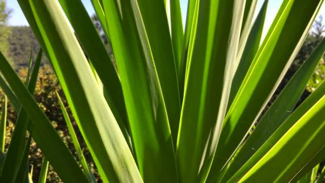 yucca plant & panoramic sea view - yucca stock videos & royalty-free footage