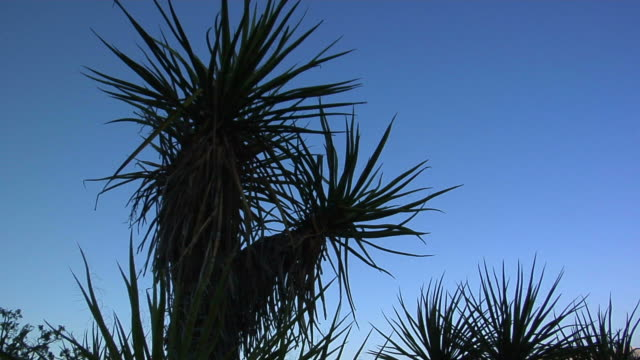 A yucca plant silhouetted against a desert blue sky.
