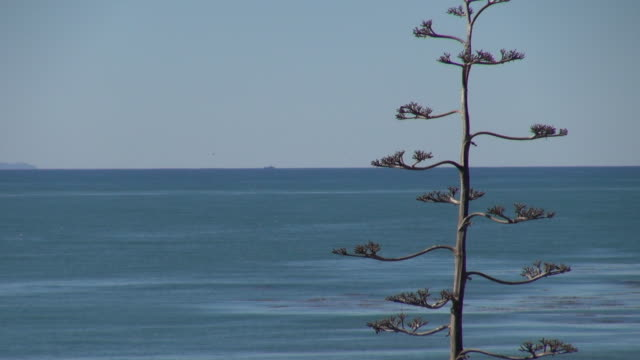 Yucca Plant with Ocean and Boat in Background
