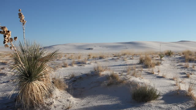 MS PAN Yucca tree in White Sands National Monument / Alamogordo, New Mexico, United States