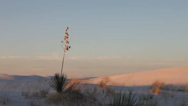 MS Yucca tree in White Sands National Monument at sunset / Alamogordo, New Mexico, United States