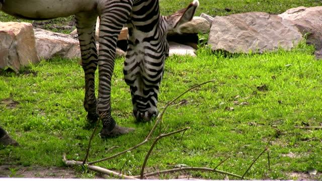 yummy zebra food. - zebratryck bildbanksvideor och videomaterial från bakom kulisserna