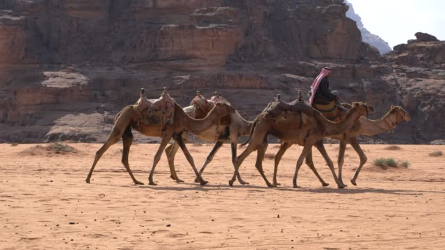 Zalabia Bedouin Taking Care Of His Camels In The Wadi Rum Desert, Jordan