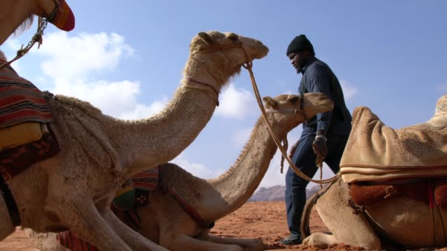zalabia bedouin taking care of his camels in the wadi rum desert, jordan - camel stock videos & royalty-free footage