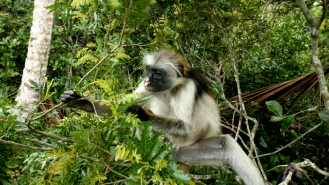 Zanzibar Red Colobus ,Endangered Species of Monkey eating leaves, Zanzibar