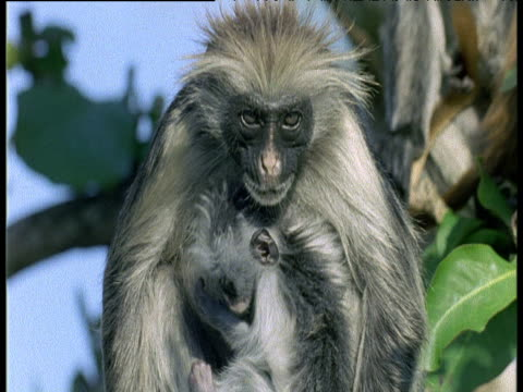 zanzibar red colobus mother with baby - zanzibar archipelago stock videos & royalty-free footage