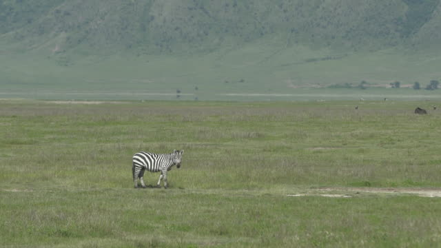 zebra alone in distance - wiese stock videos & royalty-free footage