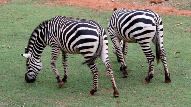 Zebra and field grass