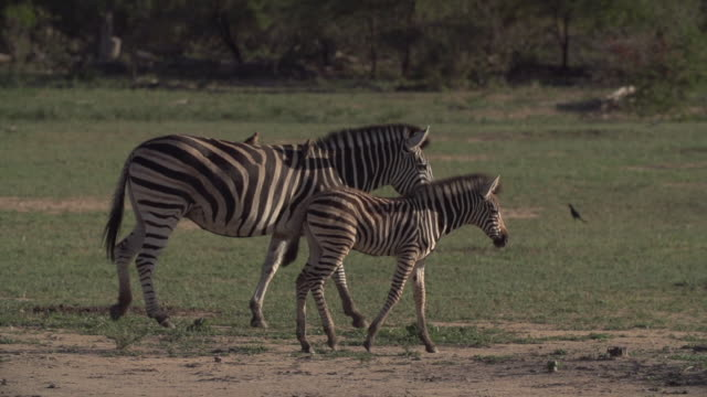 zebra and foal walk from left to right across screen with oxpeckers sitting on back, kruger national park, south africa - mpumalanga province stock videos and b-roll footage