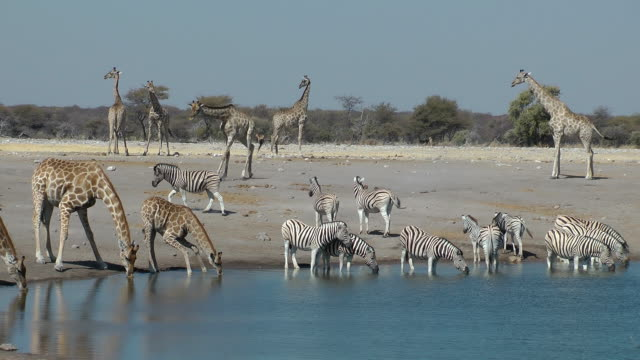 zebra and giraffe - giraffe stock videos & royalty-free footage