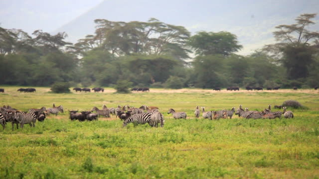 zebra and other wildlife in the ngorongoro - weitere themen stock-videos und b-roll-filmmaterial