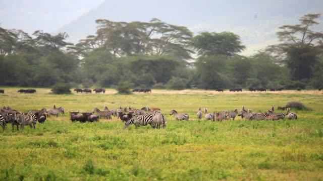 vidéos et rushes de zebra and other wildlife in the ngorongoro - autre thème