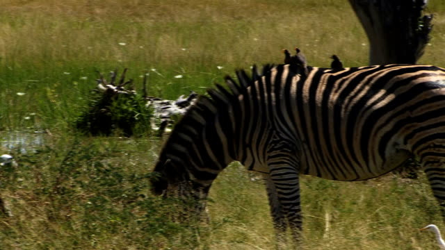 zebra and oxpeckers graze - zebra print stock videos & royalty-free footage