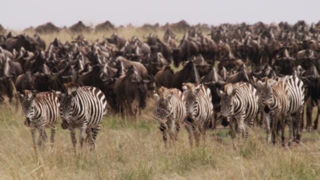 zebra (equus quagga) and wildebeest (connochaetes taurinus) herd migrate across savannah, kenya - migrating stock videos & royalty-free footage