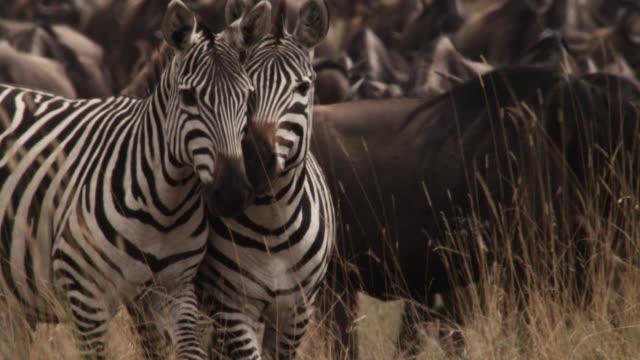 Zebra (Equus quagga) and wildebeest (Connochaetes taurinus) herd migrate across savannah, Kenya
