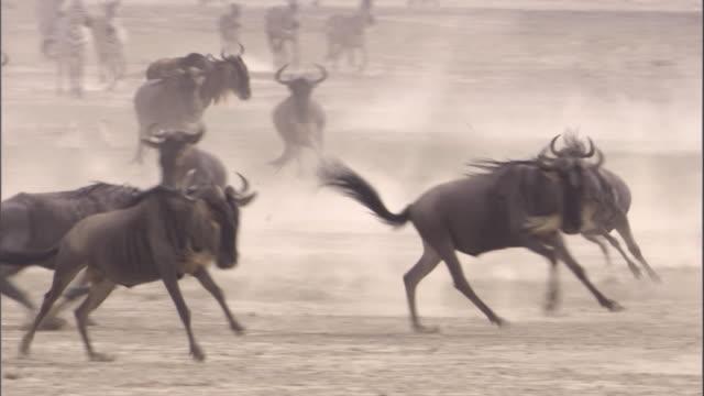 Zebra and wildebeest run across savanna. Available in HD.