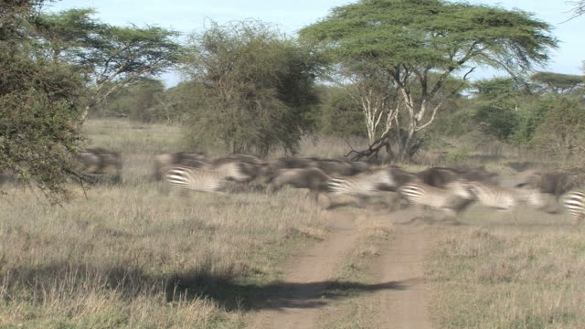 zebra and wildebeest stampede in africa - stampeding stock videos & royalty-free footage