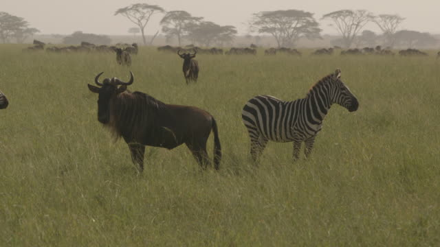 Zebra and wildebeest stand alert as they look at a lioness resting in long savannah grass whilst wildebeest migrate in the background, Tanzania.