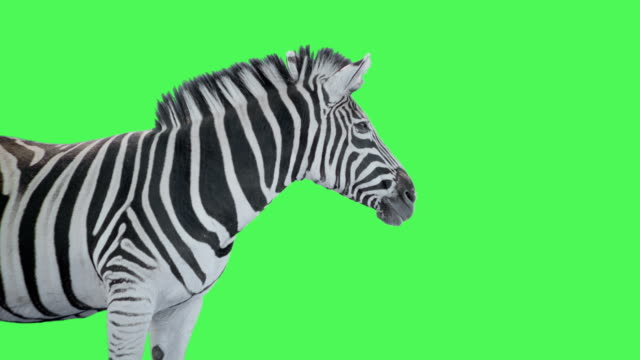 zebra animal on green screen - one animal stock videos & royalty-free footage