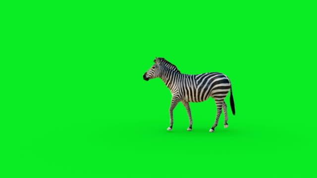 zebra-animation auf grünem bildschirm - zebra stock-videos und b-roll-filmmaterial