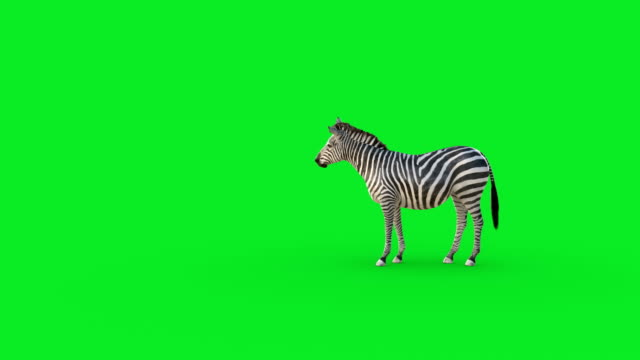 zebra animation on green screen background - herd stock videos & royalty-free footage