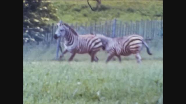 zebra at the animal park - herbivorous stock videos & royalty-free footage